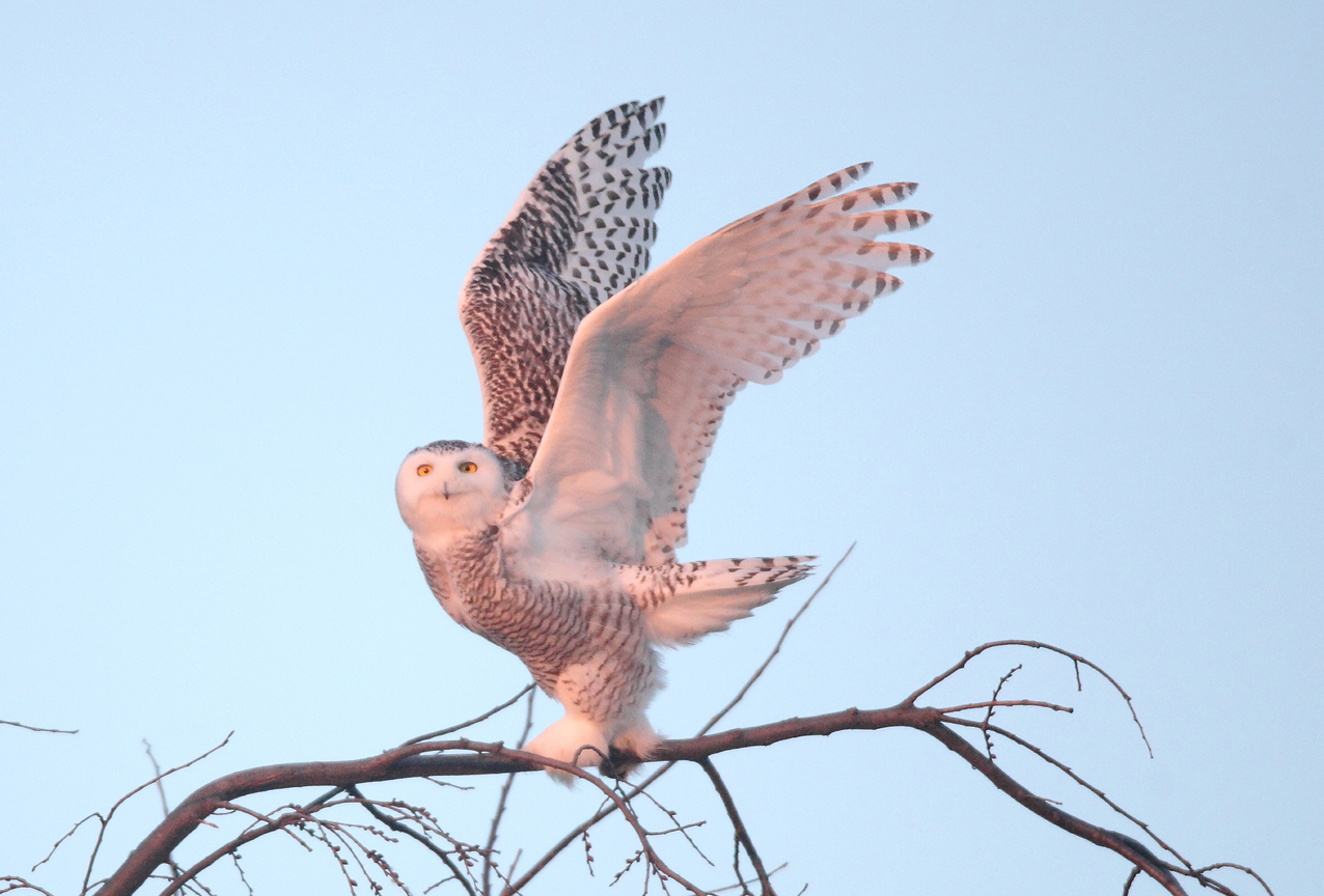 Wingspan of the Magnificent Snowy Owl. Photo by David T. Chapman
